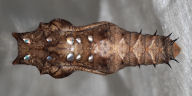 192-ツマグロヒョウモン蛹(背面)-OMD06846