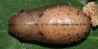 192-ルリシジミ蛹9mm(背面)