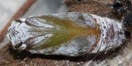 192-チャマダラセセリ蛹(腹面)-OMD01720