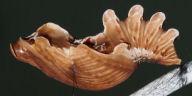 192-ベニモンアゲハ蛹(側面)-OMD01705