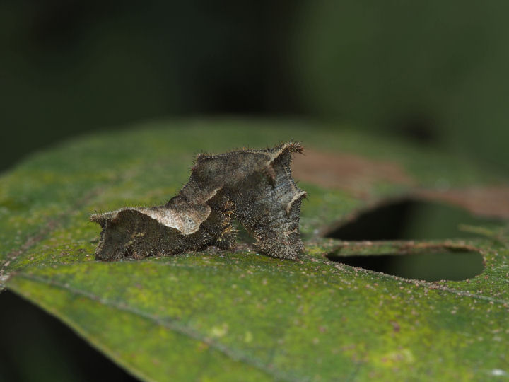 コミスジ幼虫1-20mm-OMD01571