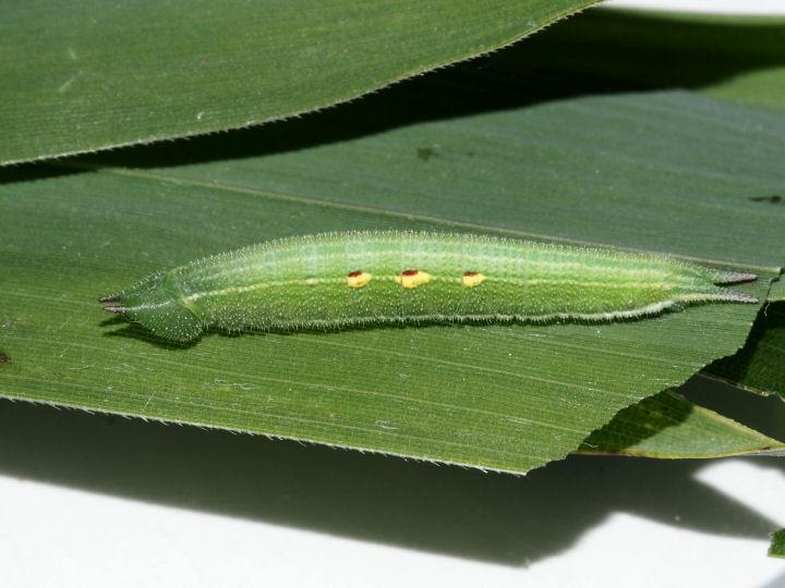 ヒカゲチョウ幼虫24mm-OMD01597
