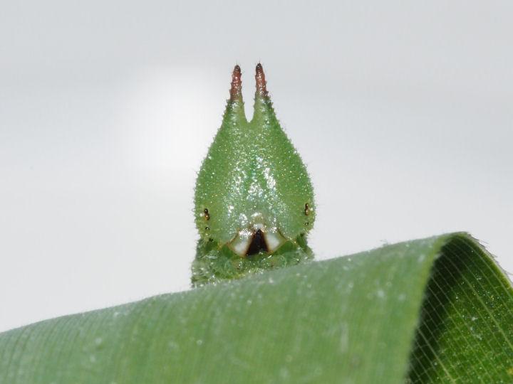 ヒカゲチョウ幼虫24mm頭部-OMD01593