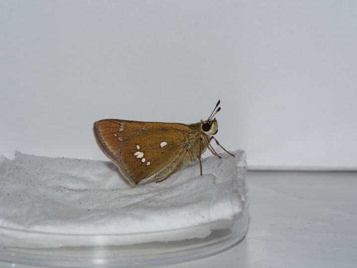 ミヤマチャバネセセリ羽化-OMD01651
