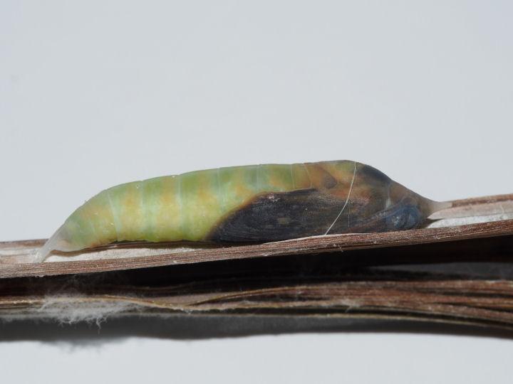 ミヤマチャバネセセリ蛹-OMD01585