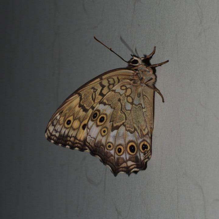 サトキマダラヒカゲ羽化-OMD02023