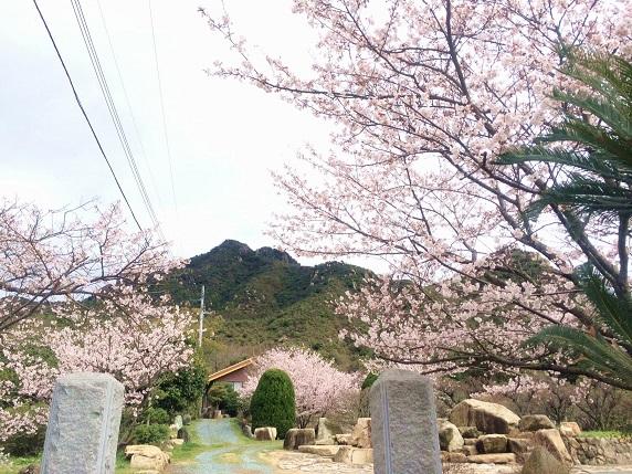 桜2014.3.30-3