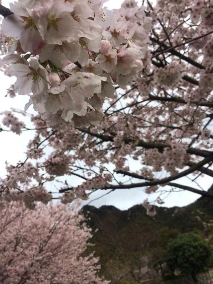 桜2014.3.30-1