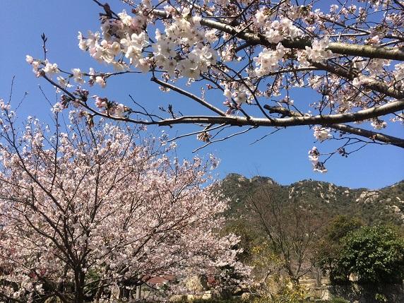 2014.3末の桜