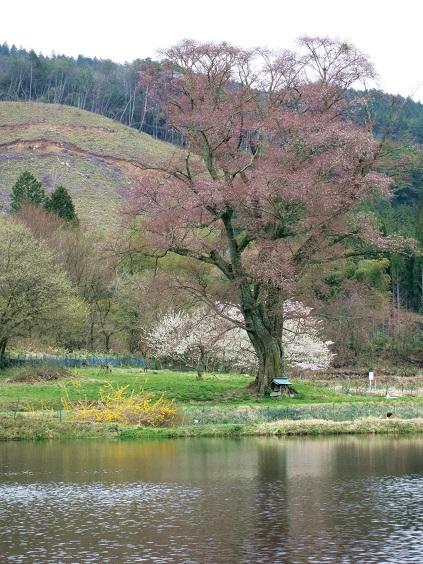 千鳥別尺の山桜IMG_0060