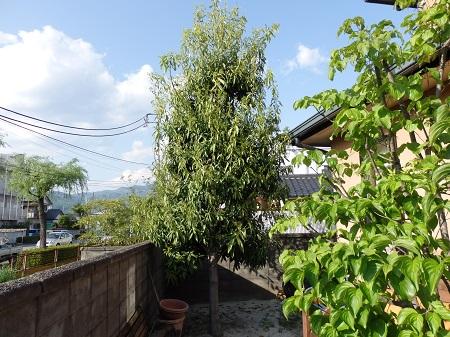 樫の木 001