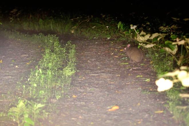 アマミノクロウサギ記録