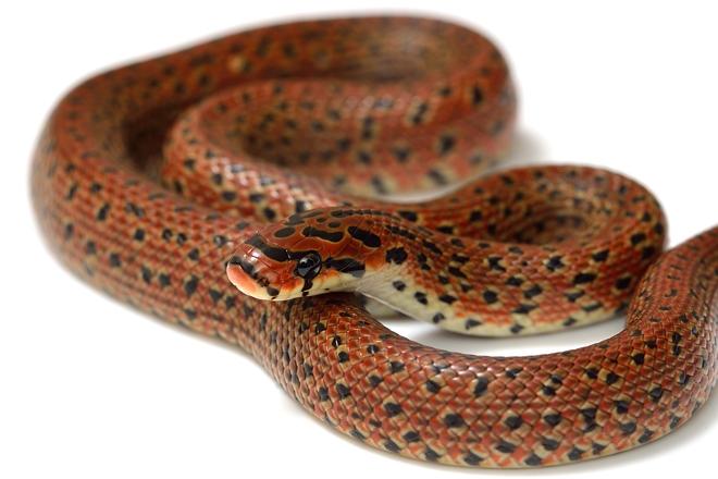 ジムグリ幼蛇2