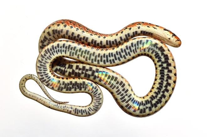ジムグリ幼蛇腹面