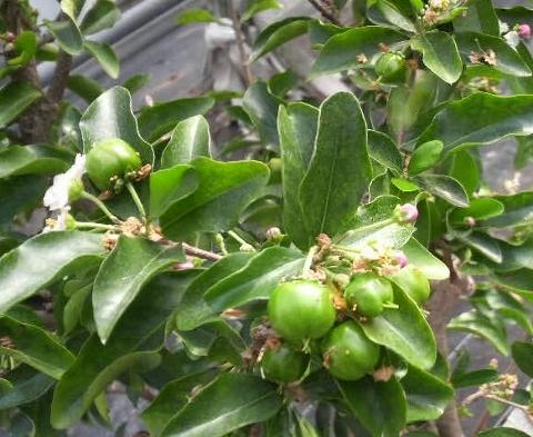 5月には完熟するアセロラ果実