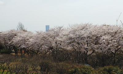 140402桜3