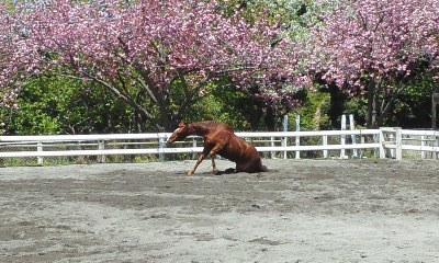 140415八重桜