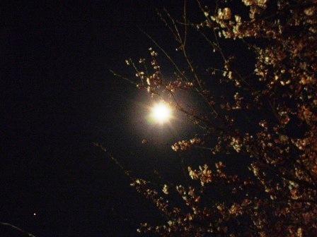 三林夜桜14042b