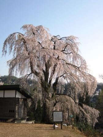 桜散策140425栗山沢
