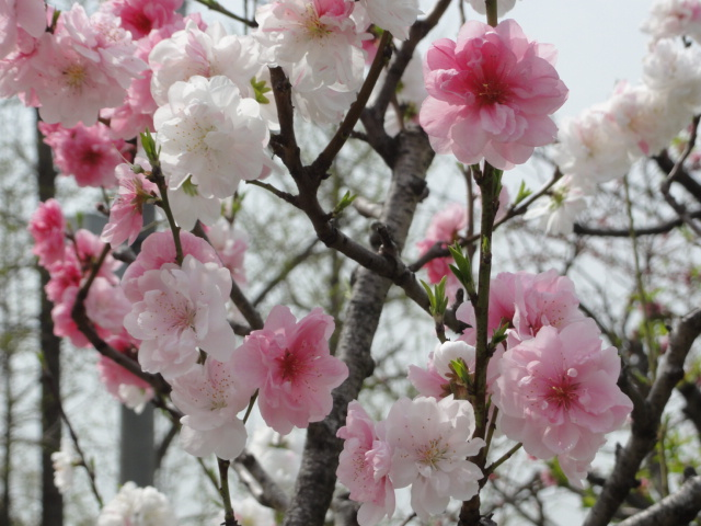 2014年4月3日 大阪城公園 桃園1