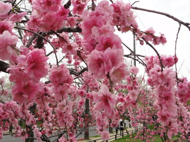 2014年4月3日 大阪城公園 桃園2