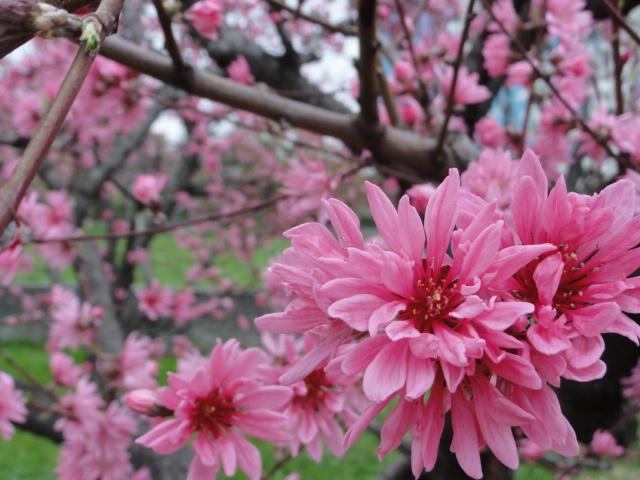 2014年4月5日 大阪城公園 桃園 菊桃