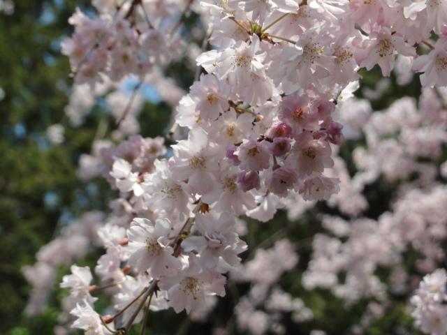 2014年4月8日 平安神宮の桜