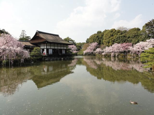 2014年4月8日 平安神宮 池に映る桜