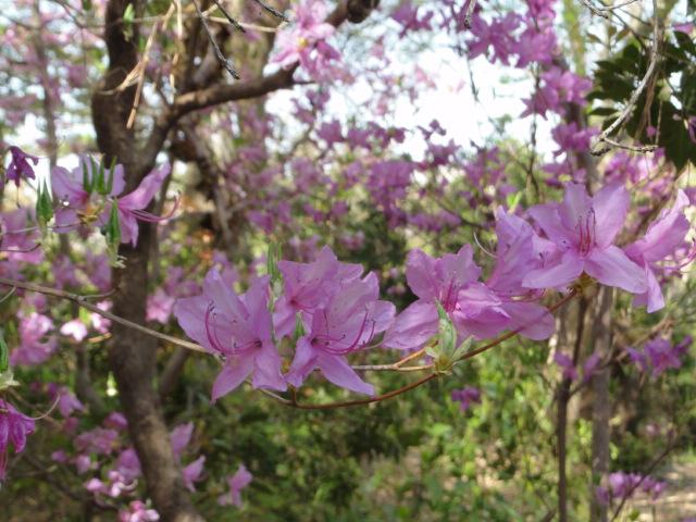 2014年4月15日 京都府立植物園 つつじ