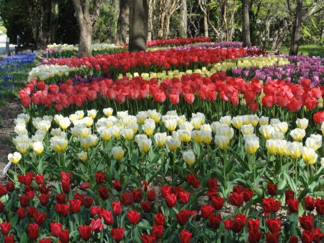 2014年4月15日 京都府立植物園 チューリップ