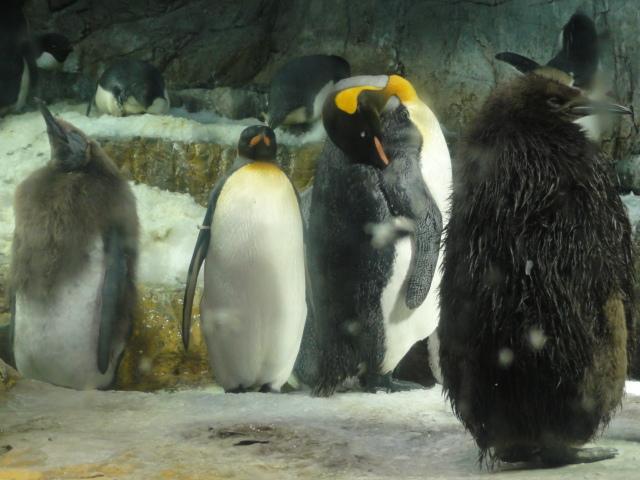 2014年5月11日 海遊館 ペンギン1