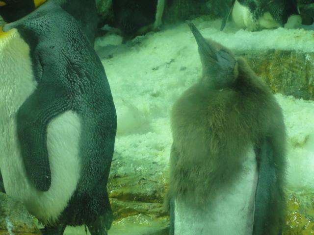 2014年5月11日 海遊館 ペンギン2