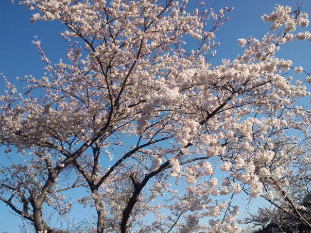 桜2014a