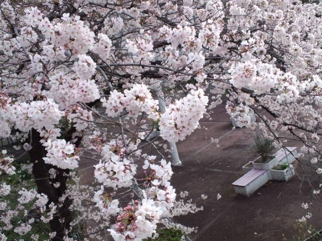 桜2014b