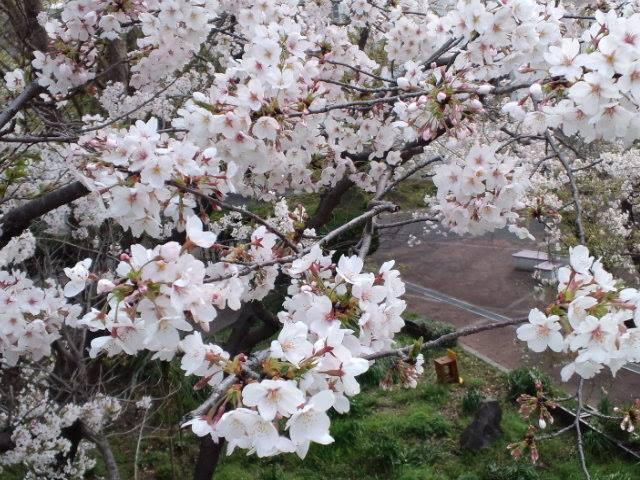 桜2014c