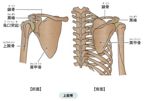 「肩の骨格」の画像検索結果