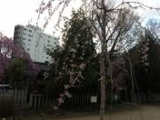 140404市民相談:天神公園枝垂桜