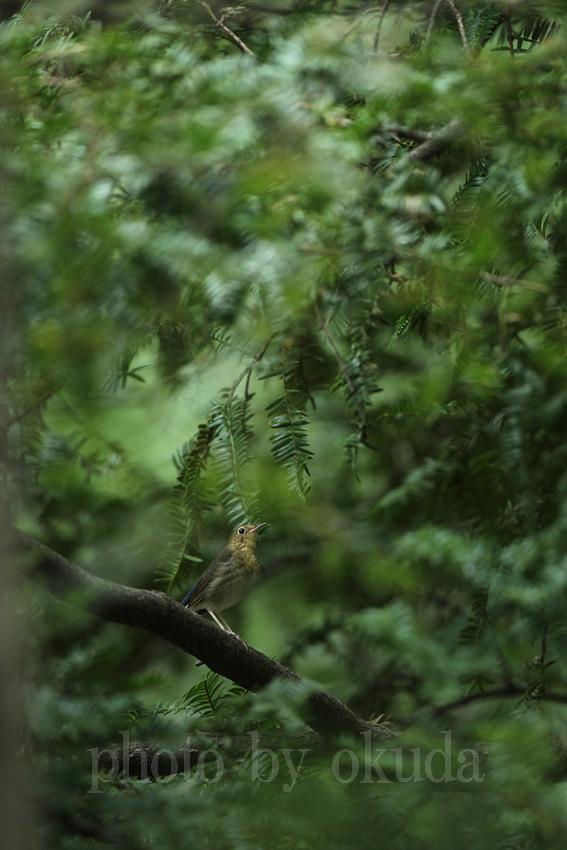 コルリ(幼鳥)