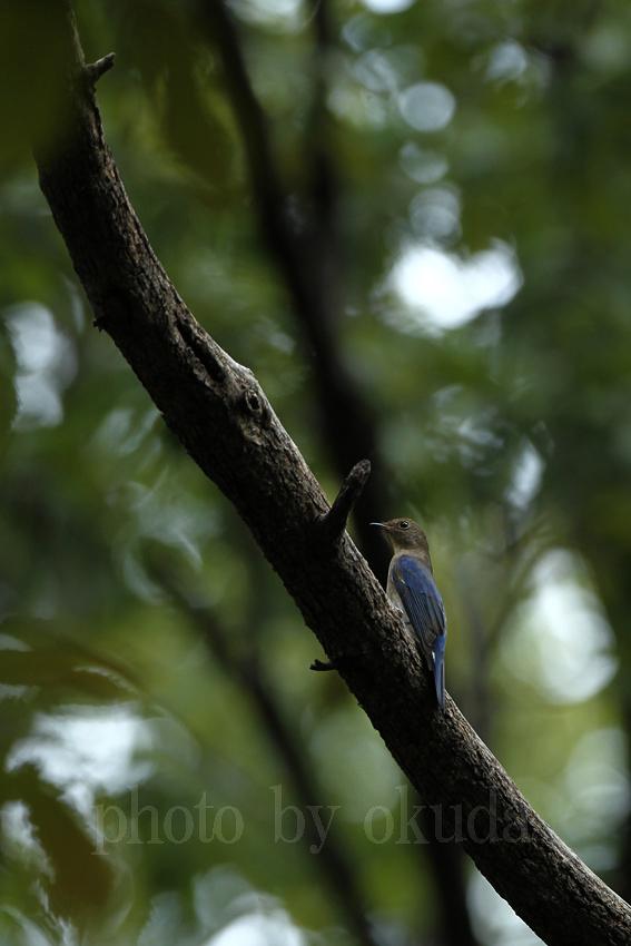オオルリ(幼鳥)