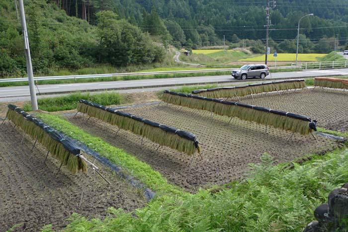 2014 農繁期 秋、 たかやまもち 稲刈り 1