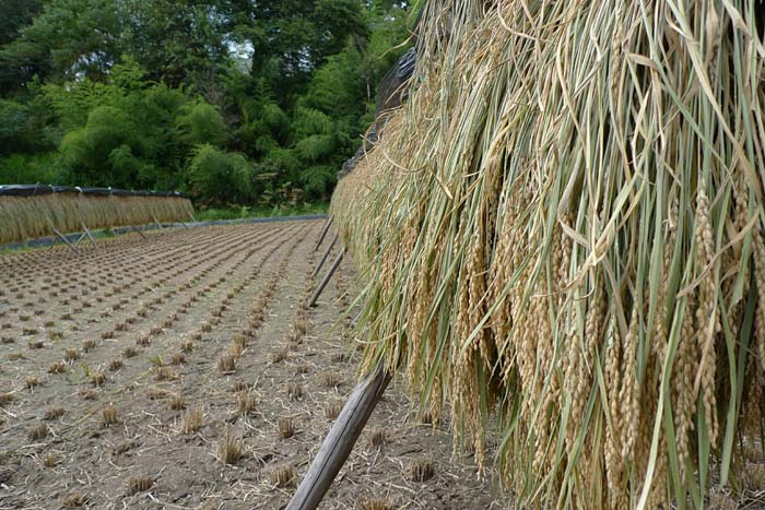 2014 農繁期 秋、 たかやまもち 稲刈り 2