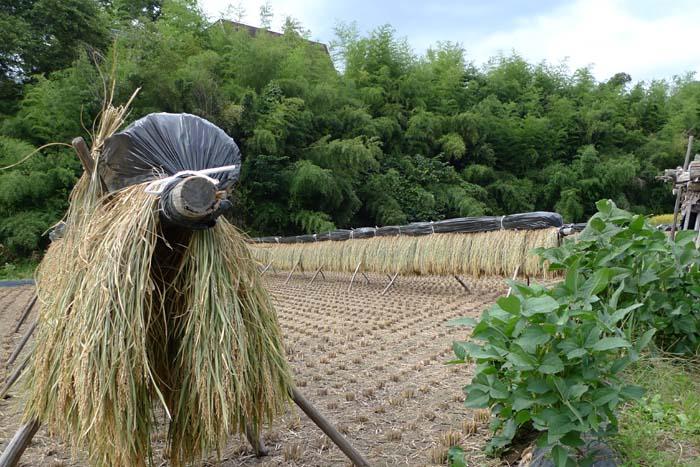 2014 農繁期 秋、 たかやまもち 稲刈り 3