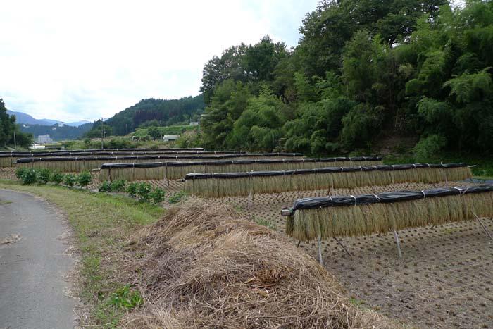 2014 農繁期 秋、 たかやまもち 稲刈り 4