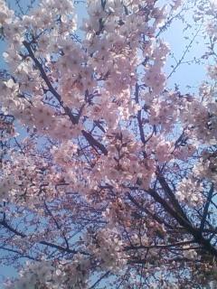 仙川駅前の桜2014