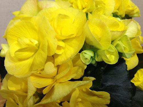 begonia1_s.jpg
