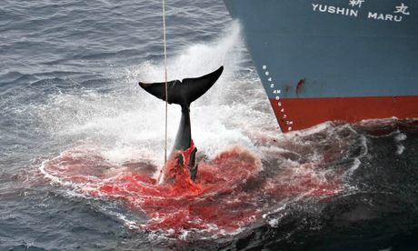 Japanese-whaling-009.jpg