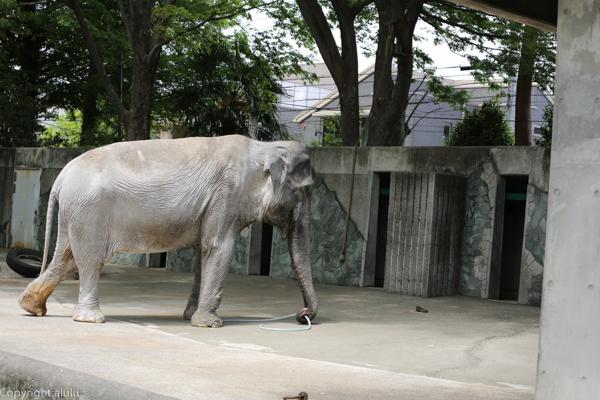 井の頭自然文化園 アジアゾウ