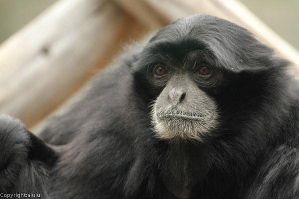 フクロテナガザル 動物園
