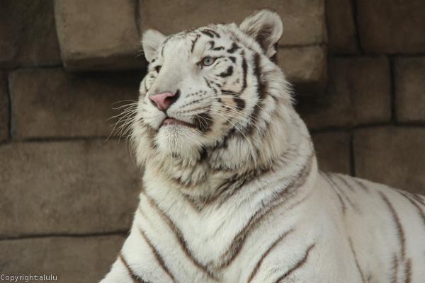 ホワイトタイガー 動物園