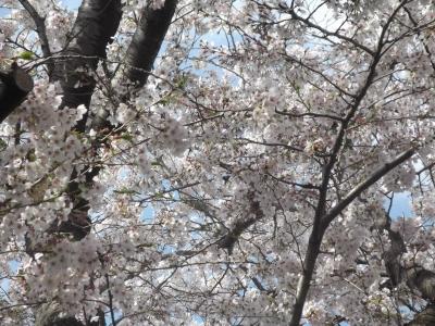 2014年春の隣町の桜。